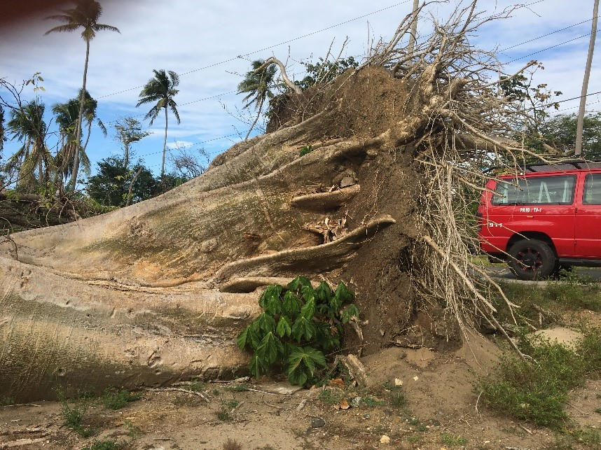 A 100-year-old tree uprooted by Hurricane Maria.